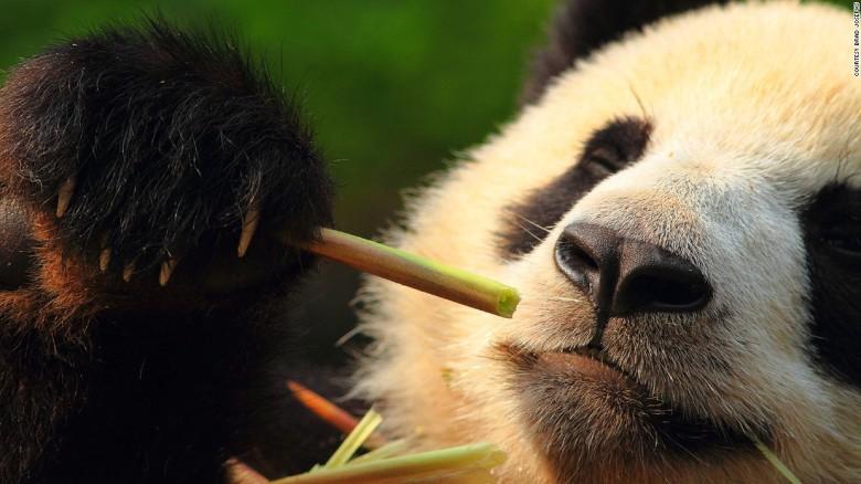 170621154310-wildlife-encounters-nathab-panda-sichuan-brad-jospehs5851-super-169.jpg